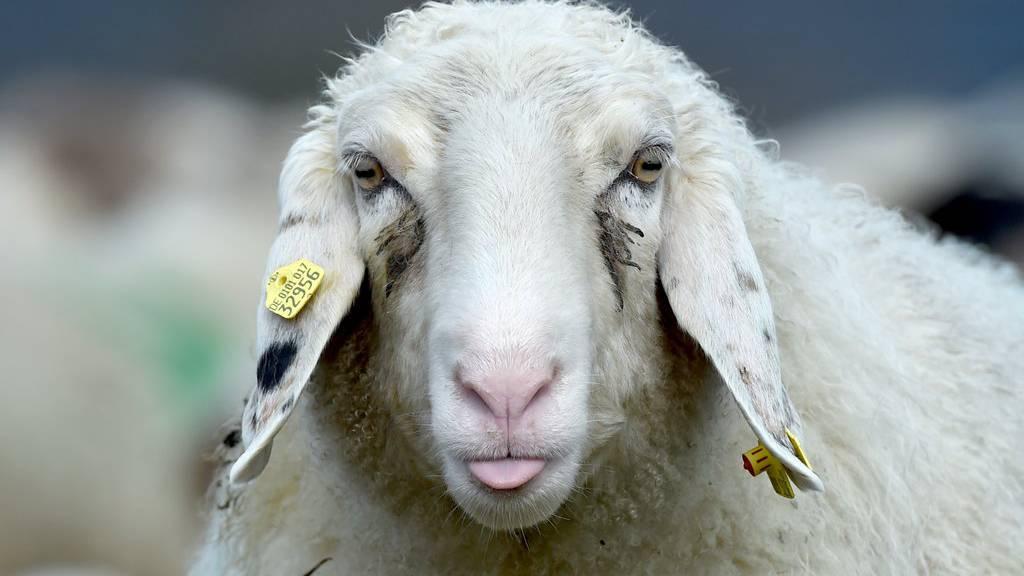 So sieht ein Schaf aus.