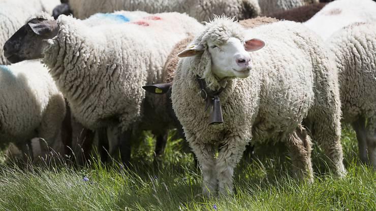In der Asylunterkunft in Holderbank wurde im Kühlschrank ein totes Schaf gefunden. (Symbolbild)