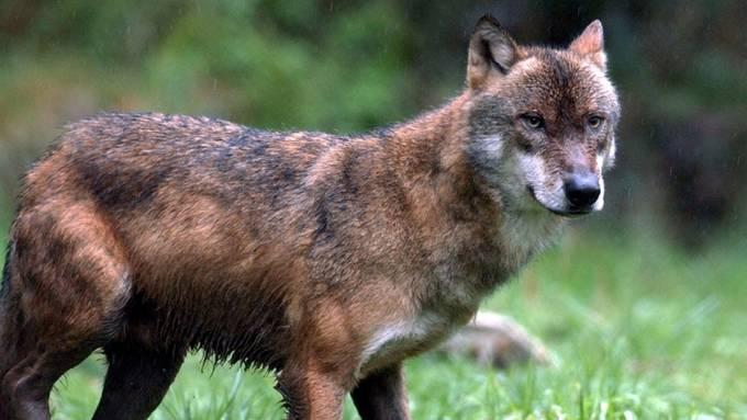 Jungwölfe sind derzeit in der Schweiz in mehreren Gebieten unterwegs. Ein Tier wurde am Mittwoch in Graubünden von einem Auto überfahren (Themenbild).