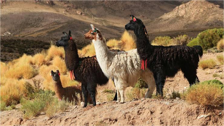 Lamas kann man in Chile bestaunen.