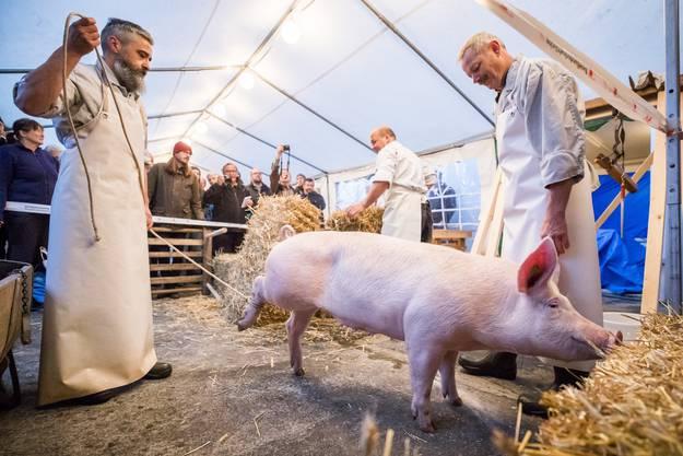 Am rechten Hinterbein des Schweins wurde ein Strick befestigt.