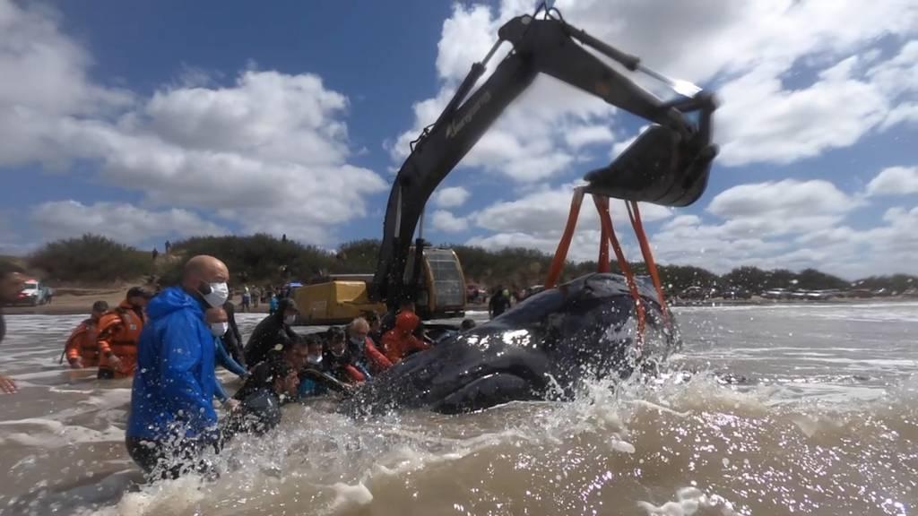 Spektakuläre Rettungsaktion für zwei gestrandete Buckelwale
