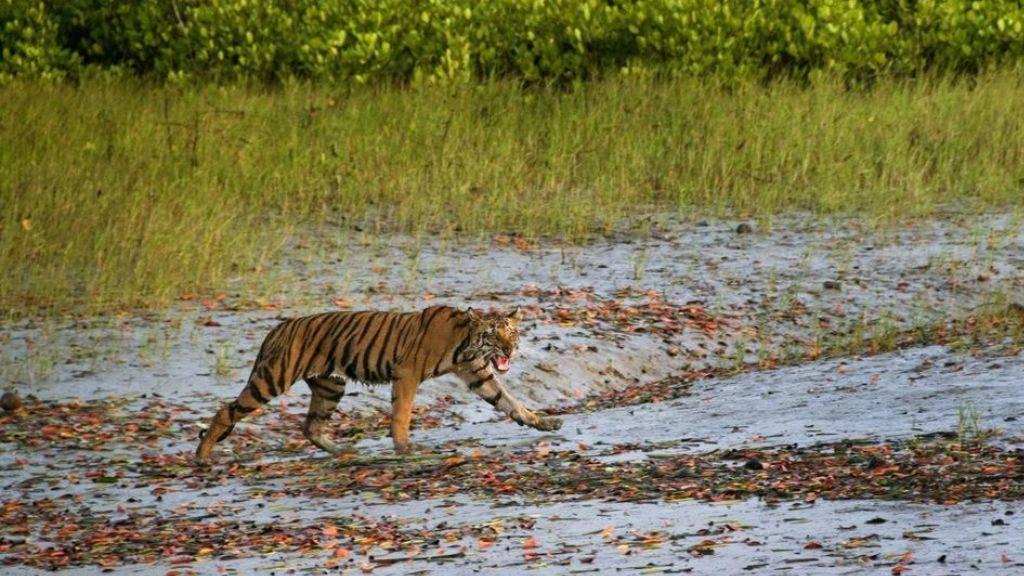 Menschenfressende Tigerin nach Jagd getötet