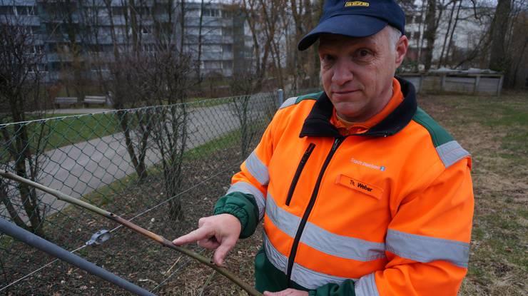 Stadtgärtner Thomas Weber sagt, der Pilz wandere von den Blättern in die Äste und befalle dann den Baumstamm. Der Baum versucht sich zu retten, indem er bei befallenen Ästen neue Triebe macht, was dünne Verästelungen ergibt.