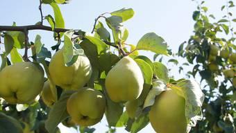 Quittenprodukte sind sehr gefragt. Die Pflanzenkrankheit Feuerbrand macht die Frucht jedoch zur Mangelware.