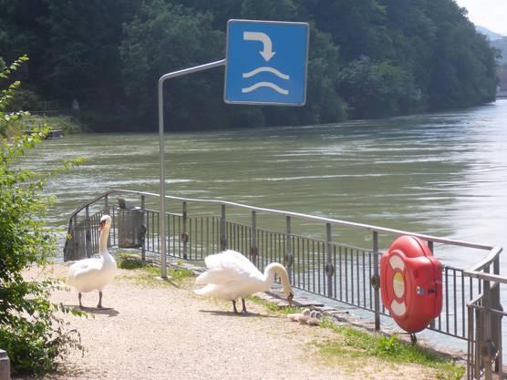 Gerade von Schwänen besetzt: Blick auf die Einwasserungsstelle in Laufenburg.