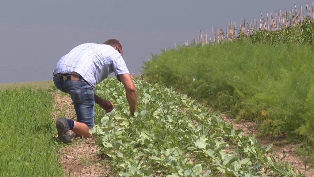 Stresswoche für hiesige Bauern: Ganze Feldarbeit muss in dieser Prachtswoche erledigt sein