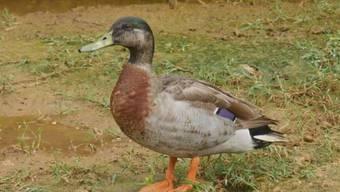Trevor the Duck galt als einsamste Ente der Welt - am Wochenende wurde er Opfer eines Hundeangriffs.