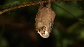 Greisengesicht-Männchen zupfen bei der Balz ihren Hauptlappen vor ihrem Gesicht weg, wenn sich ein Weibchen interessiert zeigt.