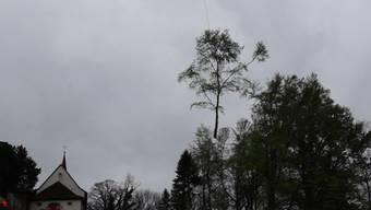 Der Helikopter transportiert die Bäume ab.