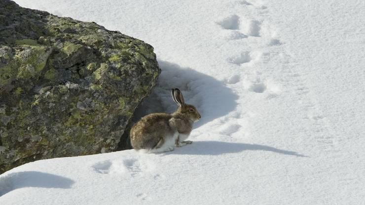 Ein Schneehase im Fellwechsel. Laut einer Studie schrumpft der Lebensraum wegen des Klimawandels immer stärker.