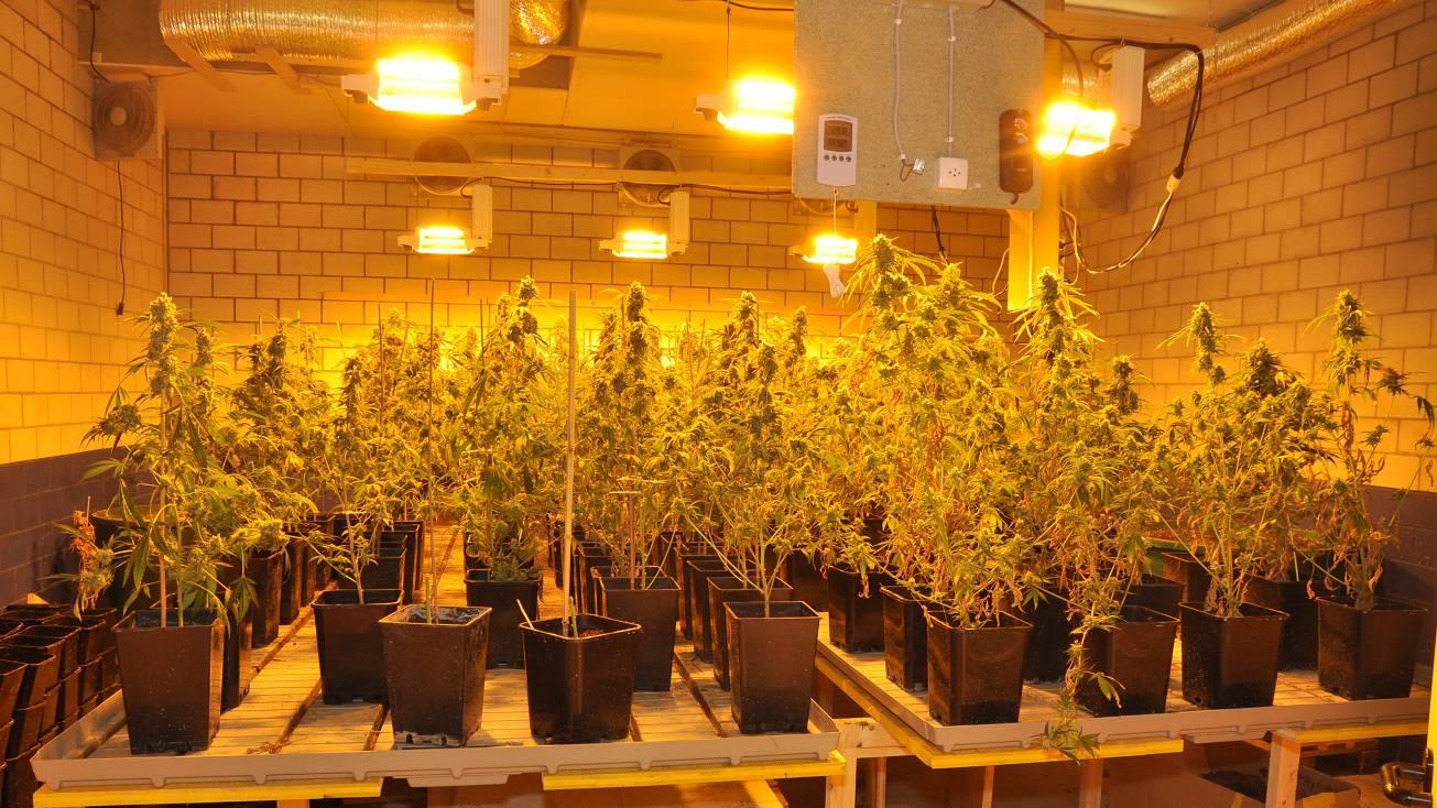 Hanfplantage in Oberägeri ausgehoben