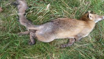 Von der Räude befallener toter Fuchs: Haarausfall und die schwarze Verfärbung der Haut sind im Bereich des hinteren Rückens gut zu sehen. zvg