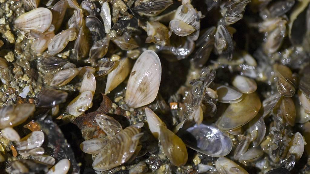 Muschel-Plage im Bodensee: Invasion ist kaum zu stoppen