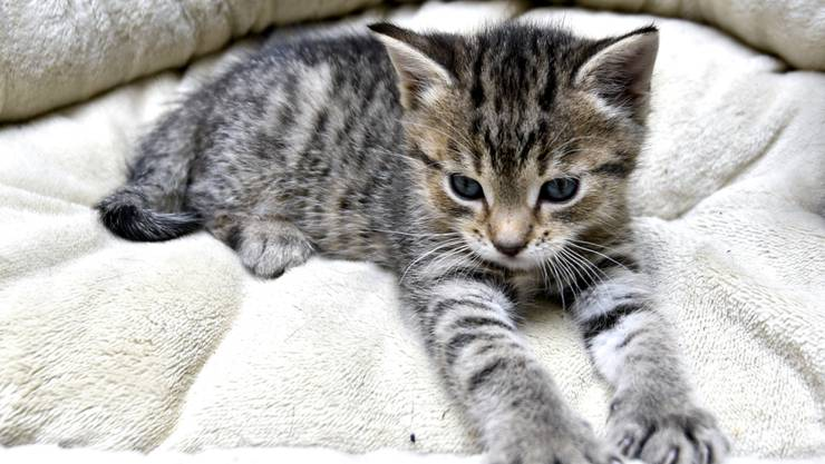 Auch Katzen können sich mit dem Coronavirus infizieren. (Symbolbild)