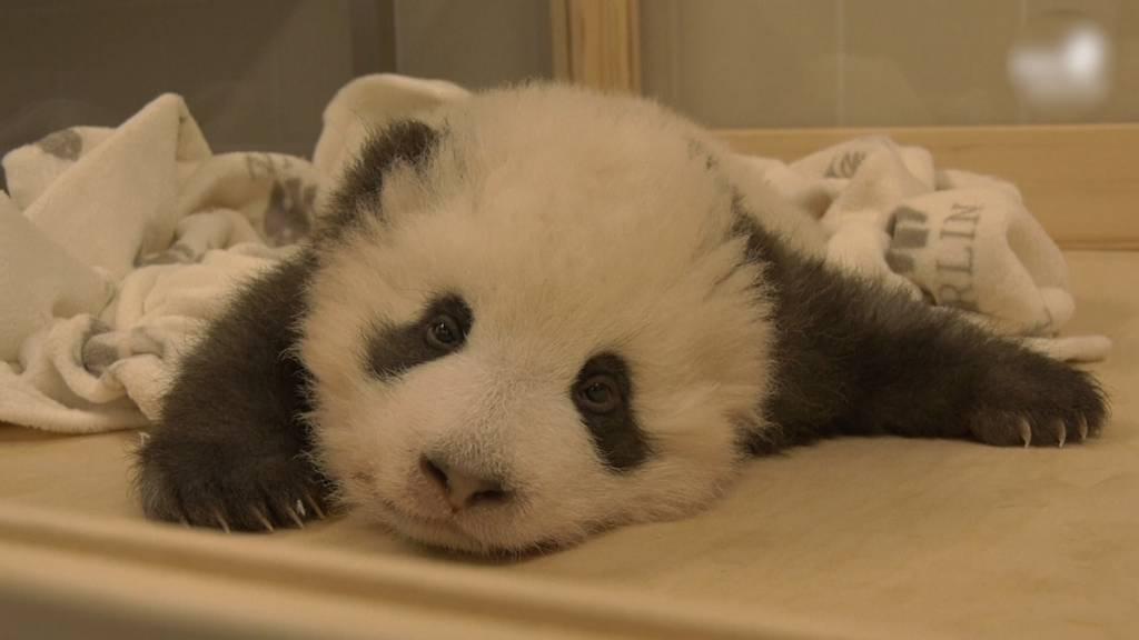 Panda-Baby hat Schluckauf