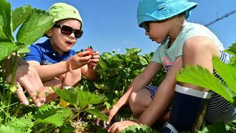 Erdbeeren-Feld bei Grob Gemüsebau in Lostorf