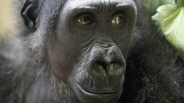 8f093c756c755 Sorgenkind Mary lebt sich gut ein in Zürcher Gorilla-Familie ...