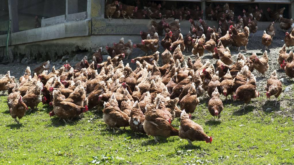 Hennen legen erstmals über eine Milliarde Eier