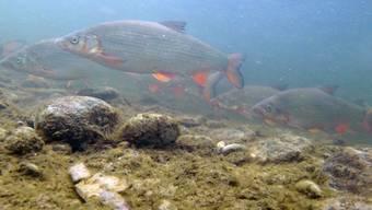 Chondrostoma nasus: Der einst in Schweizer Gewässern weit verbreitete Fisch «Nase» ist heute vom Aussterben bedroht.