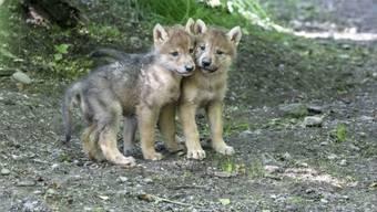 Der Schutz des Wolfes in der Schweiz soll gelockert werden - wie stark, entscheidet heute der Nationalrat. (Archivbild)