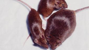 Was bei Mäusen wirkt, funktioniert nicht zwingend beim Menschen (Symbolbild)