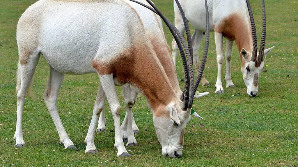 Die Säbelantilope existiert nur noch in Gefangenschaft, wie in diesem Zoo im britischen Hampshire. Das soll sich durch ein Zuchtprogramm ändern. (Symbolbild)