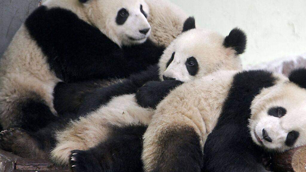 In einem Zoo in Frankreich sind zwei Riesenpandas geboren worden. (Archivbild)