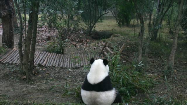 Ein Panda-Bär in Chengdu, China (Archiv)