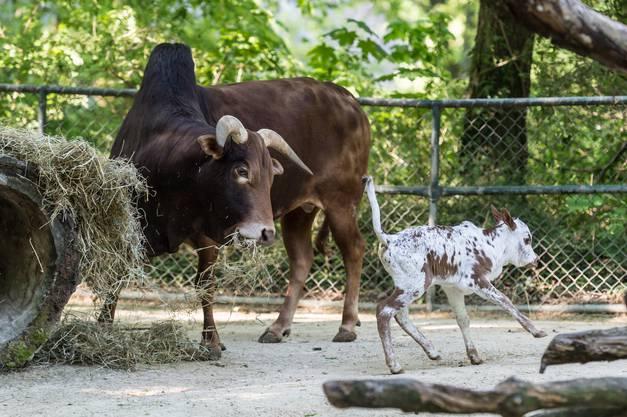 Das Stierkalb sucht auch Kontakt zum Stier. Dieser hat daran jedoch weniger Freude.
