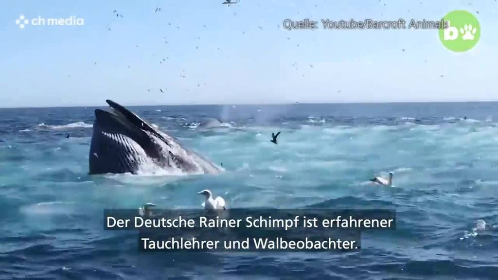 Taucher fast von Wal verschluckt