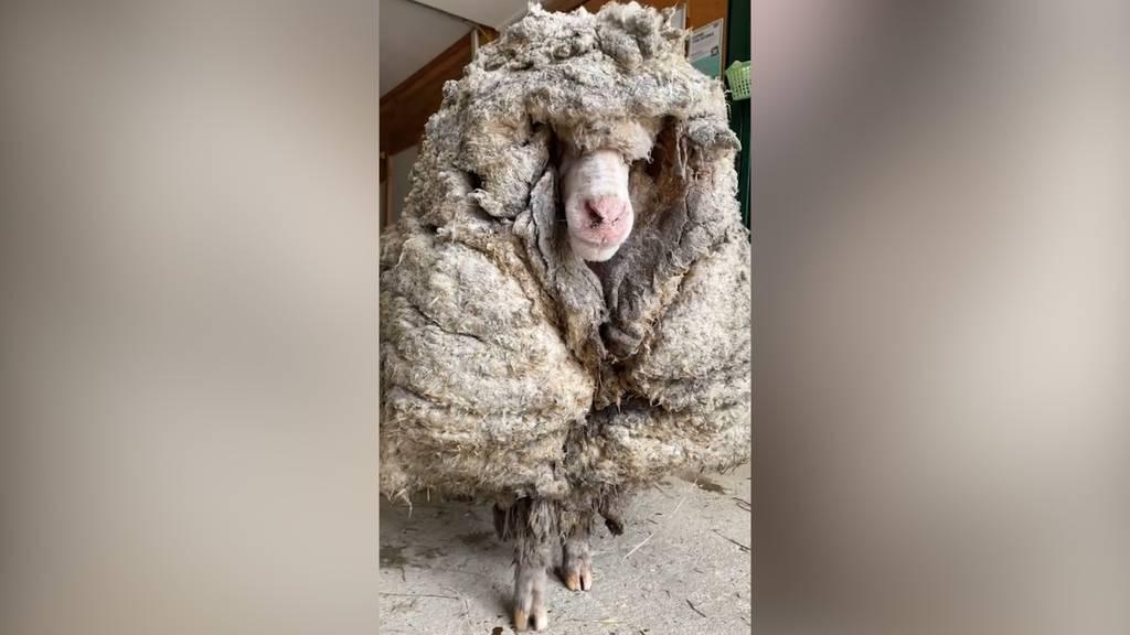 Verwildertes Schaf Baarack von 35 Kilo Wolle befreit