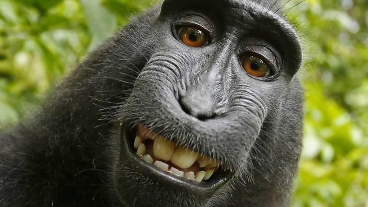 Das Selfie von Affe Naruto auf der Insel Sulawesi.