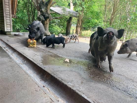 Die Ferkel warten ungeduldig, bis sie an die Glace dürfen. Die erwachsenen Schweine haben Vorrang.