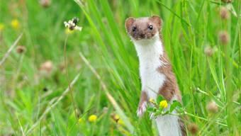 50 bis 100 Mäuse erbeuten Wiesel pro Woche. Sie sind damit für die Landwirtschaft ein bedeutender Schädlingsfresser. Thinkstock