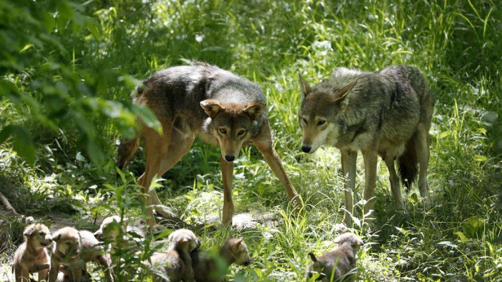 Wolfsvater Oka (l) hilft Mutter Artemis (r) bei der Aufzucht. Gemäss Zürcher Forschenden ermöglicht sein Engagement die Entwicklung grösserer Hirne bei der Brut. Denn im Tierreich bietet der Vater die zuverlässigere Unterstützung als der Rest vom Rudel. Bei den Menschen ist es anders. (Symbolbild)