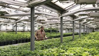 Indoor-Anbau von THC-armem Cannabis in Ossingen ZH. Die EU prüft zur Zeit, ob Hanfextrakte - sofern sie nicht psychotrop wirken - generell als Lebensmittel von der Bewilligungspflicht ausgenommen werden können. (Archivbild)