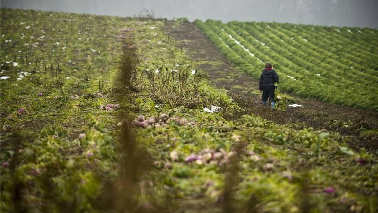 Räbenernte in Seengen: Für Aargauer Bauern gibts in der Regel auch bei schlechten Verhältnissen noch anständige Erträge. Annika Bütschi