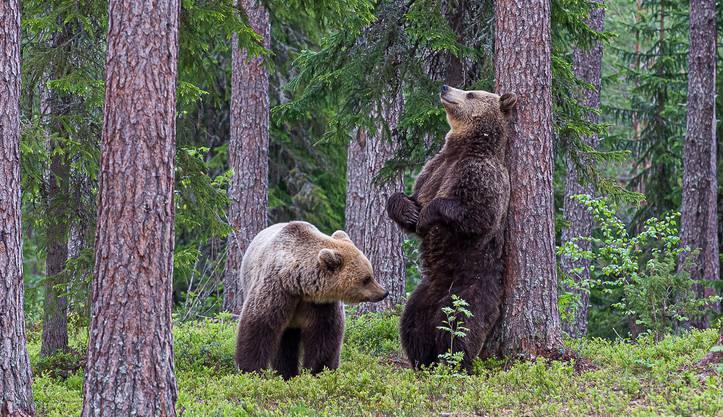 Braunbären in den Wäldern von Finnland.