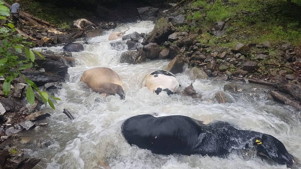 «Schrecklicher Anblick»: Acht Kühe stürzen in den Tod