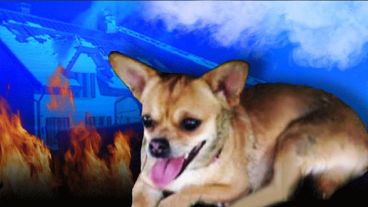 Chihuahua Sunny