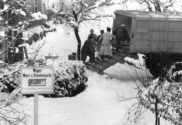 Ein trauriges wie häufiges Bild im Winter 1966: Ein mit Maul- und Klauenseuche infiziertes Kalb wird zur Notschlachtung verladen.