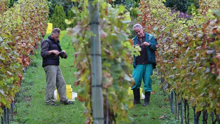 Nur gute Trauben geben guten Wein: Alle faulen, verschrumpelten, angefressenen oder grünen Beeren werden mit der Schere herausgeschnitten.