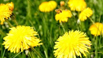 Eine Biene in einer Wiese voller Löwenzahn.
