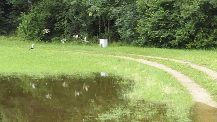 Bei der Kläranlage Reigoldswil entstand ein kleiner Teich, der sofort von Enten genutz wird.