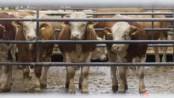 Durch die Keulung soll das Ausbreiten der Turberkulose unter den Rindern verhindert werden (Symbolbild)