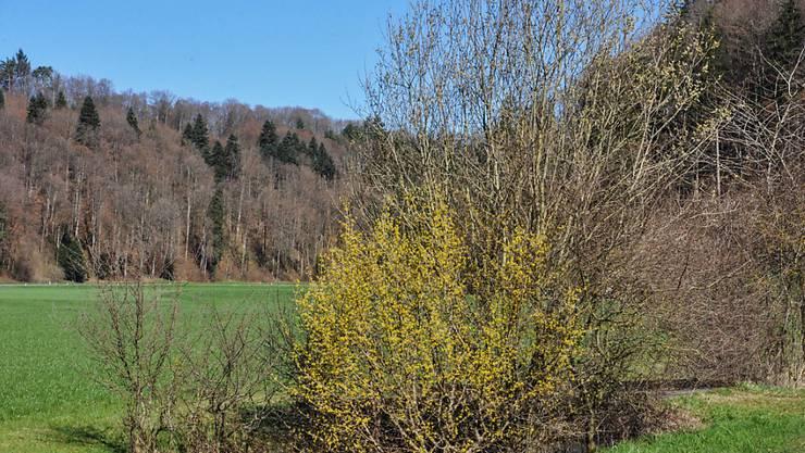 Hecken bieten Bienen, Wildbienen, Insekten und Vögeln Lebensraum - diesen will der Verein Heckentag Schweiz fördern und erhalten.