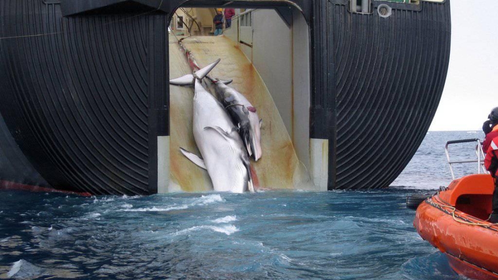 Ein japanisches Walfang-Schiff zieht zwei Zwergwale an Bord: Japan kündigt an, trotz internationalem Moratorium in diesem Jahr den Walfang wiederaufzunehmen. (Archivbild)