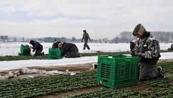 Der Einsatz von Asylbewerbern bei Fricktaler Bauern gibt zu reden: Feldarbeit von Arbeitswilligen ohne Genehmigung? Symbolfoto: Keystone