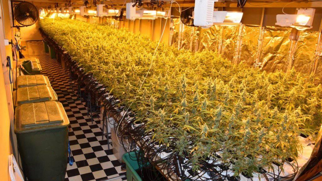 Einen grünen Daumen hatten die Betreiber dieser Hanfanlage in Reichenburg - sie hegten über 6000 Pflanzen und müssen sich dafür nun vor Gericht verantworten.